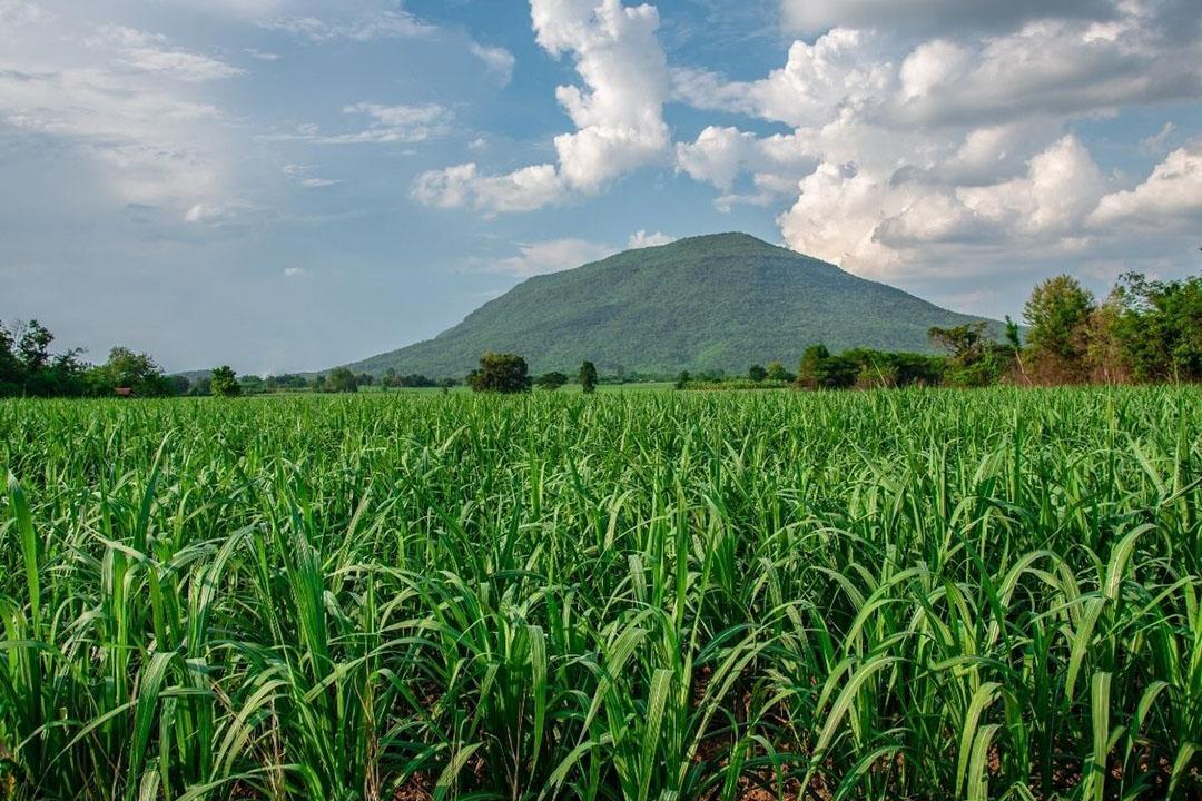 Thailand is de tweede suikerexporteur in de wereld, na Brazilië. Thailand produceert dit seizoen door een droog groeiseizoen 7,9 miljoen ton suiker. Foto: Canva