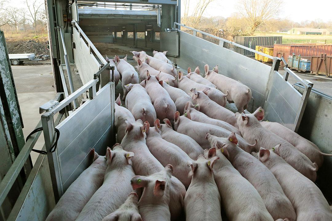 Biggen voor de export. Na de sanering zal het biggenaanbod kleiner uitpakken. - Foto: Ton Kastermans