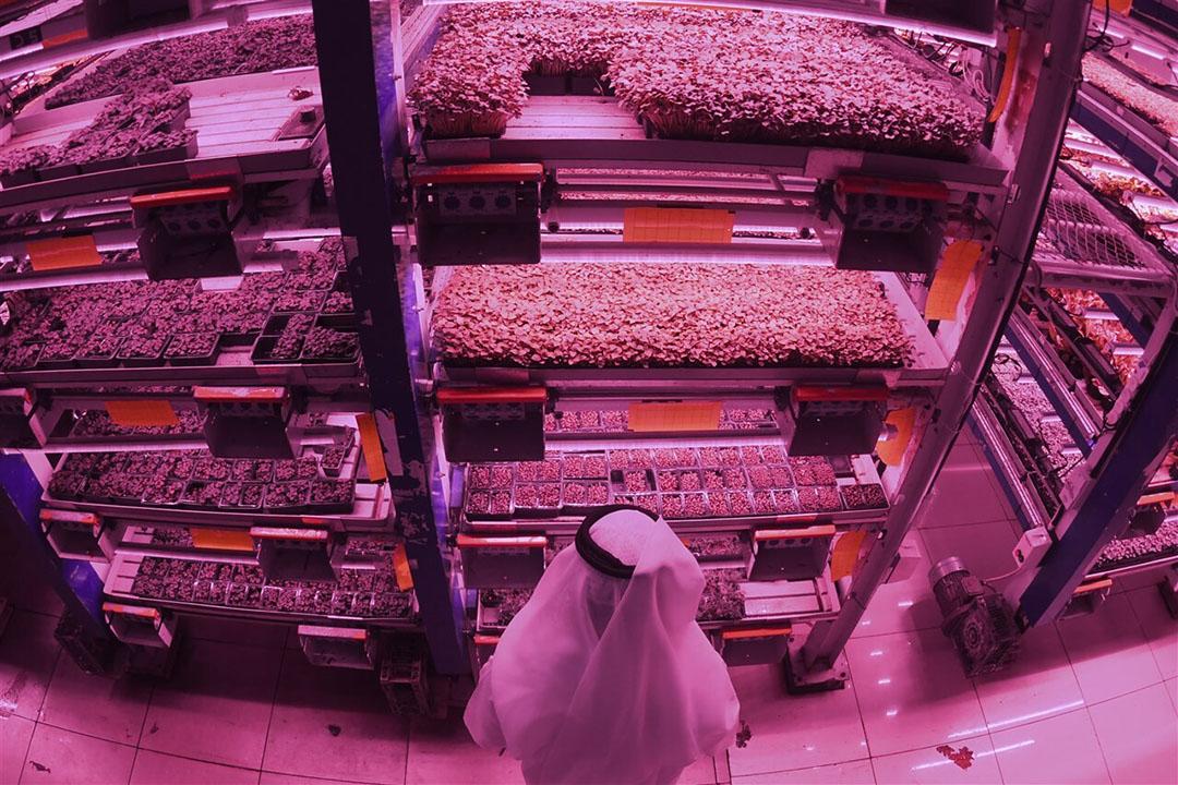 Badia Farms in Dubai is een operationeel voorbeeld van indoor farming in een woestijnklimaat. - Foto: KARIM SAHIB/AFP/ANP