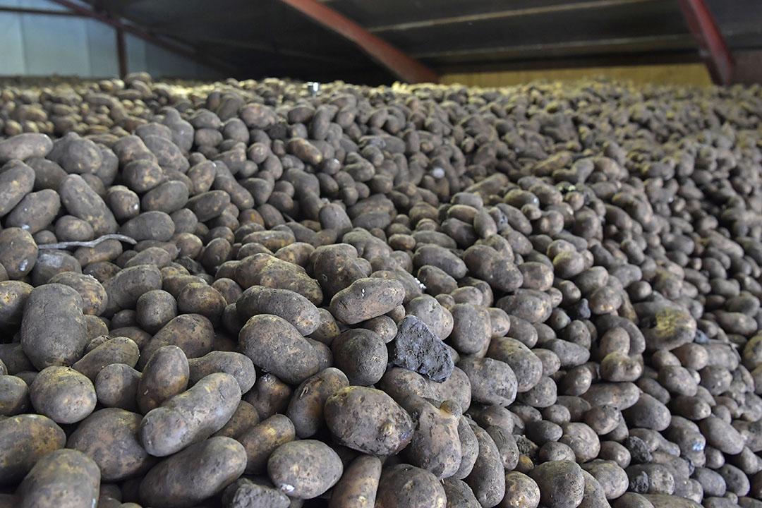 Aardappelen in een bewaarschuur. - Foto: Cor Salverius