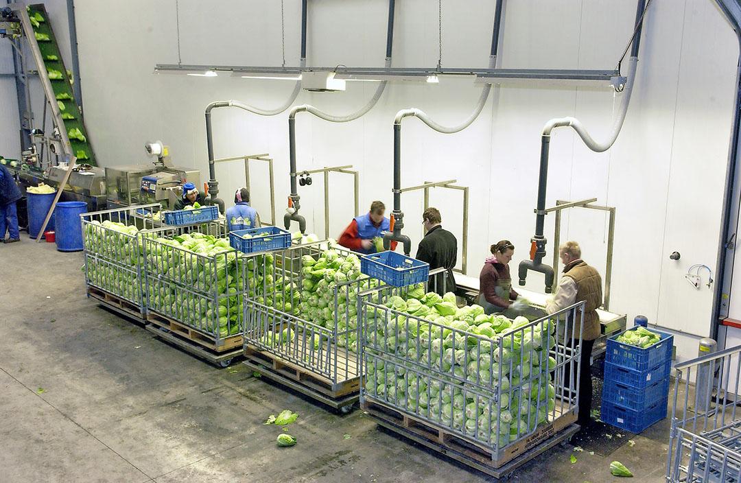 Spitskool wordt klaargemaakt voor de supermarkt. Leveranciers aan supermarkten zagen hun omzet wat toenemen. - Foto: Wick Natzijl