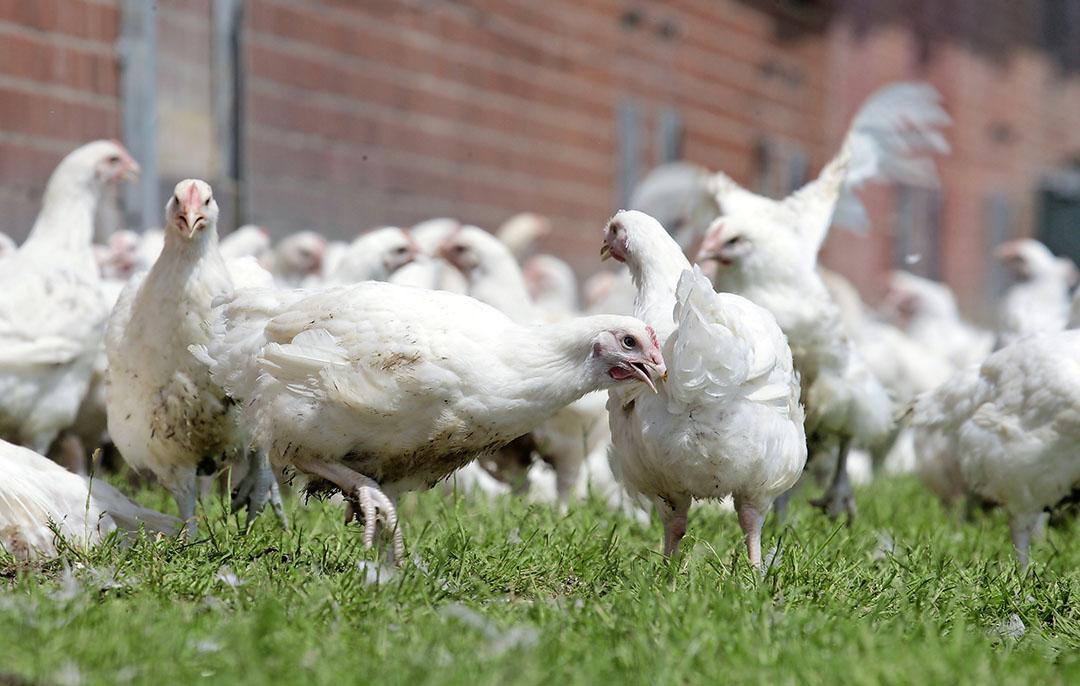 Biologische vleeskuikens. - Foto: Henk Riswick