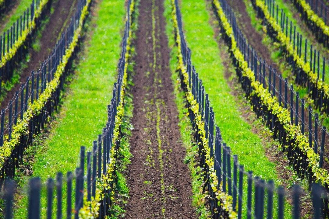 Franse wijngaard. Foto: Canva