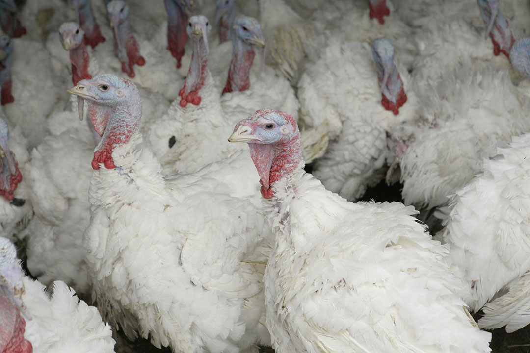 Bij het bedrijf in Northallerton zijn 10.500 kalkoenen geruimd. - Foto: Koos Groenewold