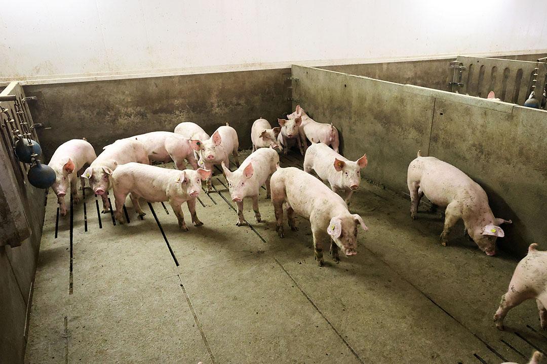Varkenshouders zagen hun inkomen in 2020 fors dalen van plus €283.000 tot -€12.000 negatief. Dat komt vooral door lagere prijzen voor biggen en vleesvarkens. Foto: Bert Jansen
