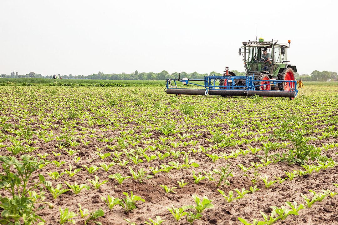 Akkerbouwers gebruiken glyfosaat (RoundUp) ook voor de bestrijding van aardappelopslag in suikerbieten in het voorjaar. - Foto: Koos van der Spek