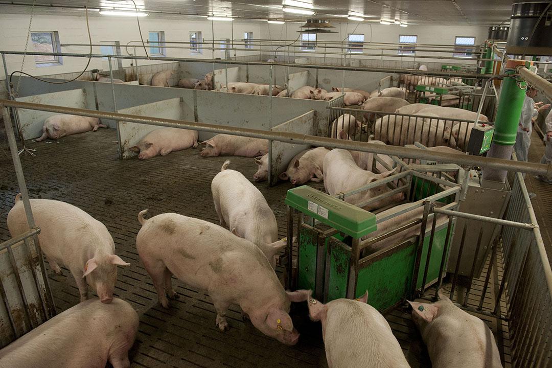 De Duitse zeugenstapel krimpt met zo'n 300.000 dieren. Foto: Mark Pasveer