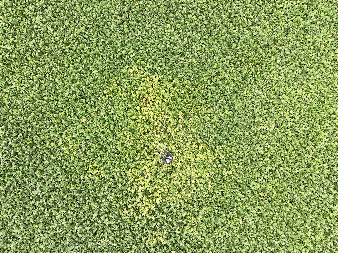 Vergelingsziekte, veroorzaakt door bladluizen, in een perceel bieten. - Foto: Mark Pasveer
