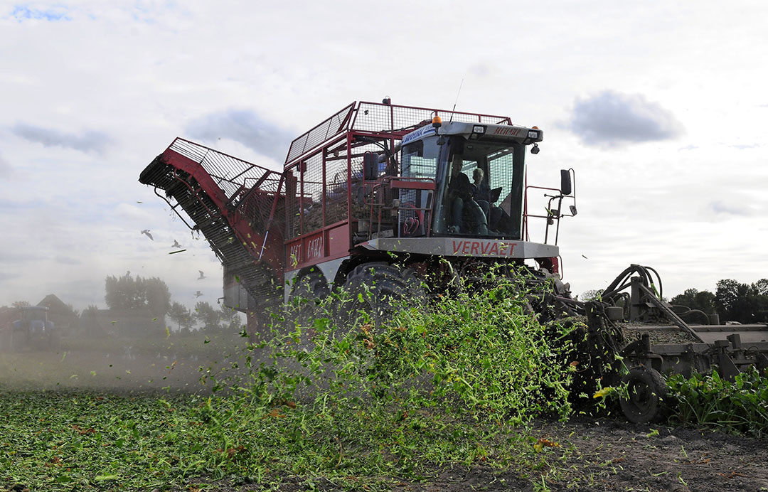 Bienblad wordt nu verhakseld. Cosun wil het gaan oogsten om er eiwit uit te halen. Foto: Wick Natzijl