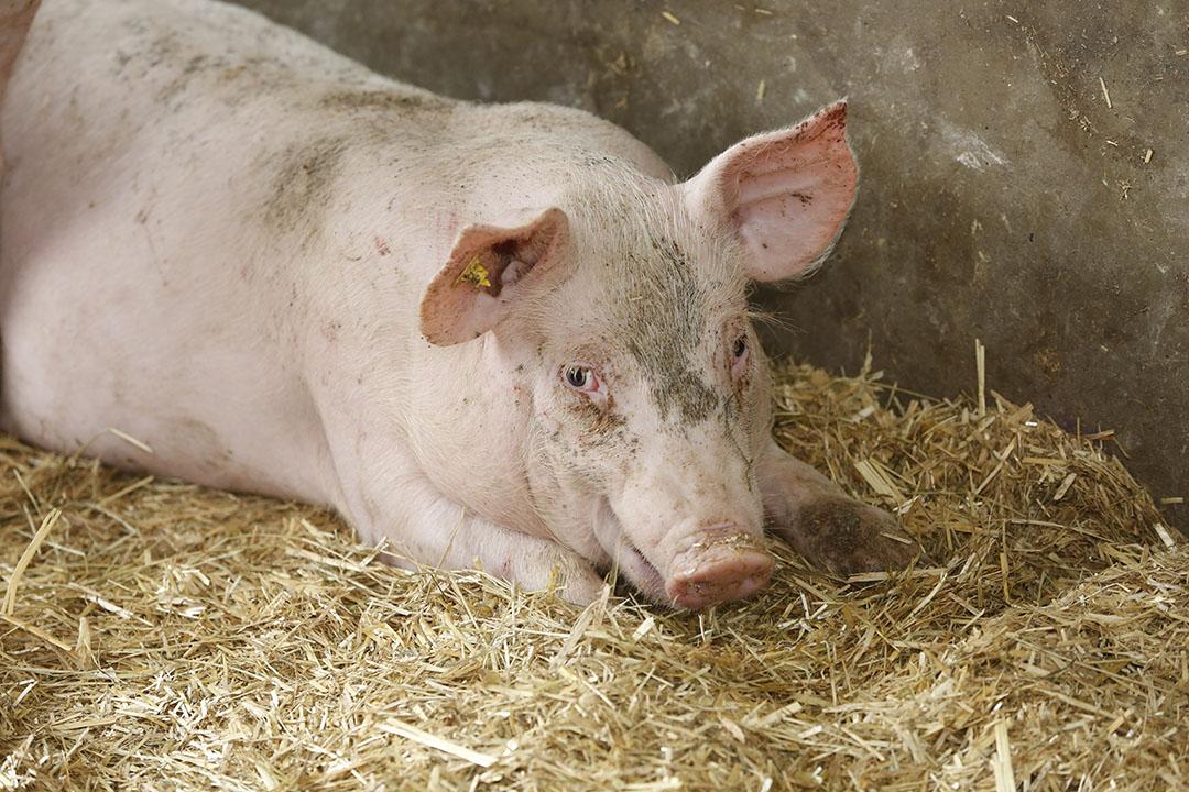 Miniter Schouten wil beginnen met varkens en pluimvee, waarvoor al specifieke systemen bestaan. Foto: Henk Riswick