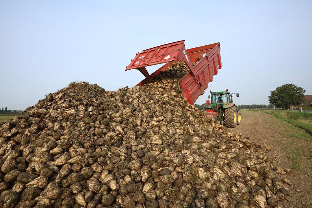 Suikerbieten kort na de oogst. De prijs van suikerbieten was dit jaar lager dan vorig jaar. - Foto: Henk Riswick