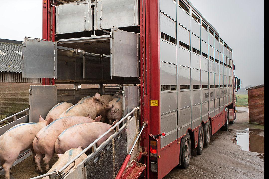 Varkens laden voor transport. - Foto: Peter Roek