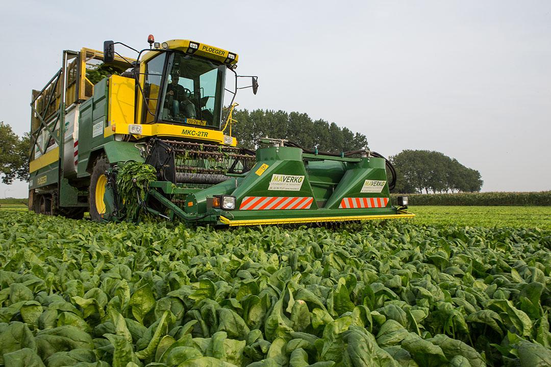Spinazieoogst in Noord-Brabant voor groenteverwerker Ardo. - Foto: Peter Roek