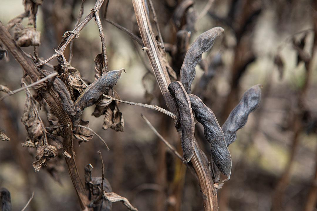 Oogstrijpe winterveldbonen als voedergewas. Willen telers dit soort gewassen rendabel kunnen telen, moet aan een aantal voorwaarden worden voldaan, vindt de NAV. - Foto: Peter Roek