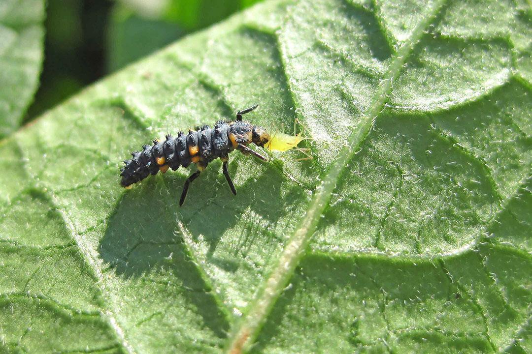 Een larve van een lieveheersbeestje doet zich te goed aan een bladluis. - Foto: DLV Plant