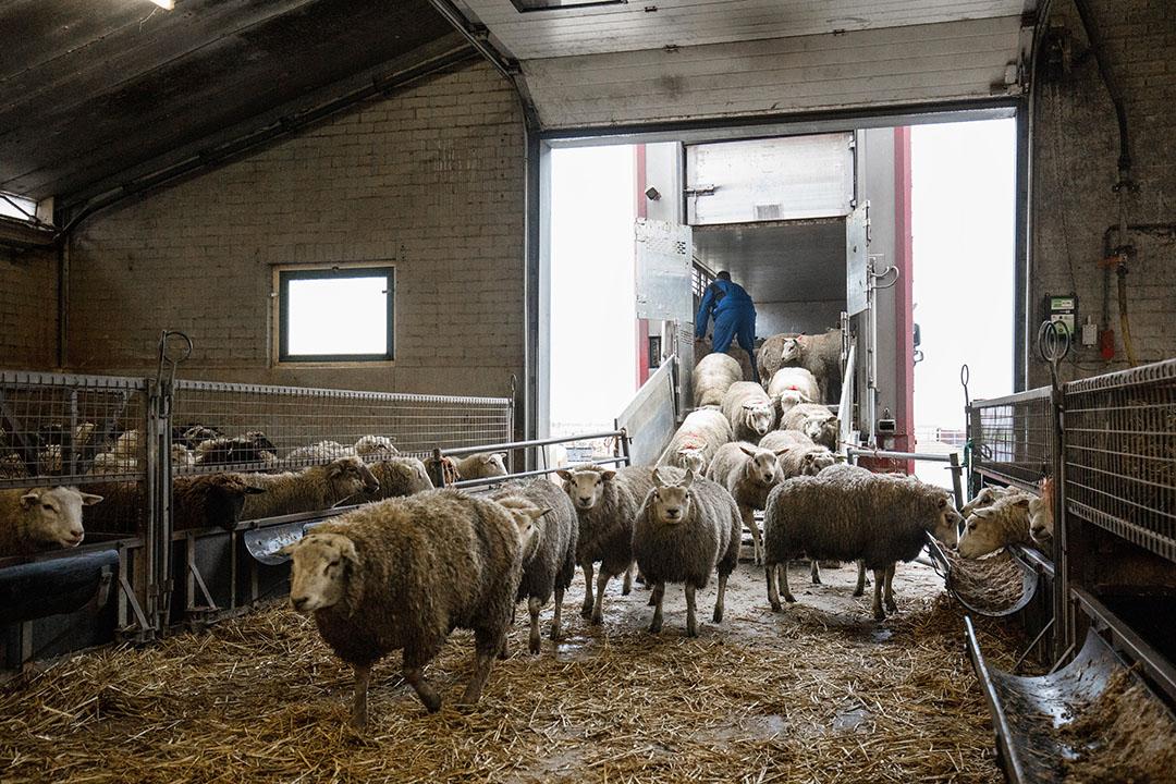 Het laden van schapen. - Foto: Mark Pasveer