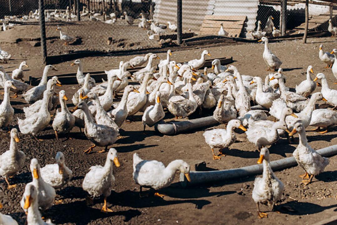 Landes en directe omgeving is goed voor twee derde van de totale Franse productie van rond de 16.400 ton foie gras. - Foto: Canva