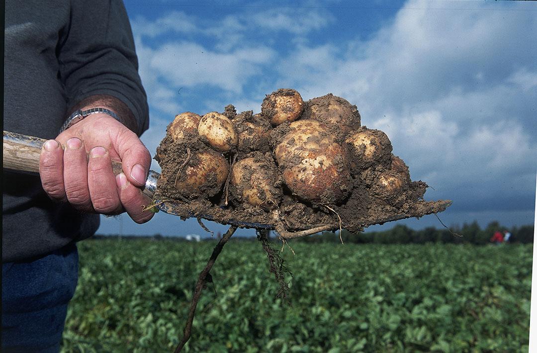 Van de aardappelen die de fritesfabriek verwerkt is 80% Bintjes. - Foto: Mark Pasveer