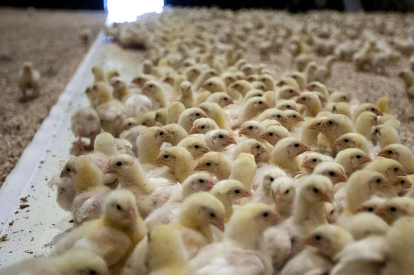Vleespluimveebedrijf in Emlichheim, Duitsland. Op 1 maart vorig jaar was er in Duitsland ruimte voor 203 miljoen dieren: niet veel meer of minder dan vier jaar geleden. - Foto: Ronald Hissink