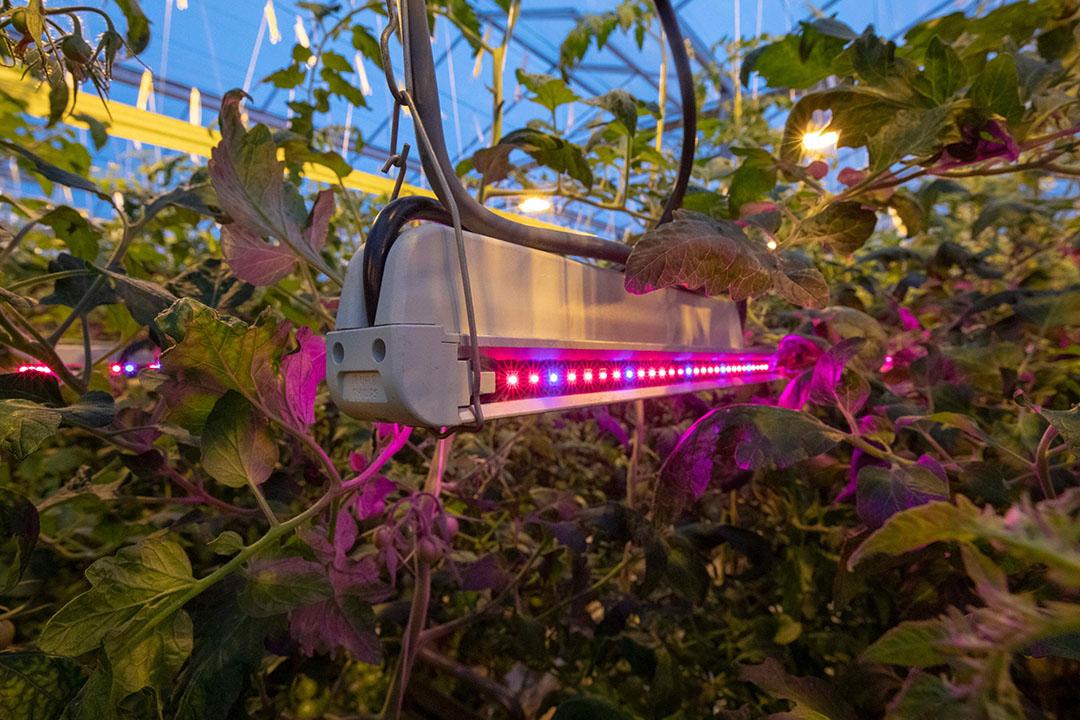 Door met de kleur van het licht te spelen (leds) kan de aanmaak van smaak- en geurstoffen van groente en fruit worden opgepept, zegt columnist Ernst Woltering. - Foto: Anne van der Woude