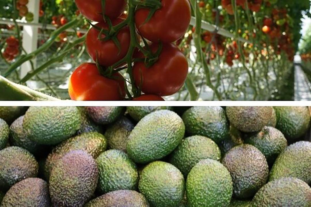 Tomaat blijft belangrijkste exportproduct in 2020. Met een exportwaarde van €1,7 miljard blijft tomaat de avocado (ruim €1 miljard) nog ruim voor. -  Foto's: Gerard Boonekamp / Canva