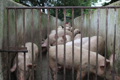 Varkens op een boerderij in de provincie Binh Duongin, Vietnam. - Foto: Misset/PigProgress