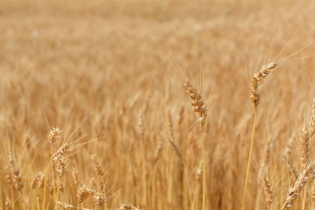 De overheid gaat de export nog verder belemmeren, hetgeen de tarweprijs verder opdrijft. Foto: Canva