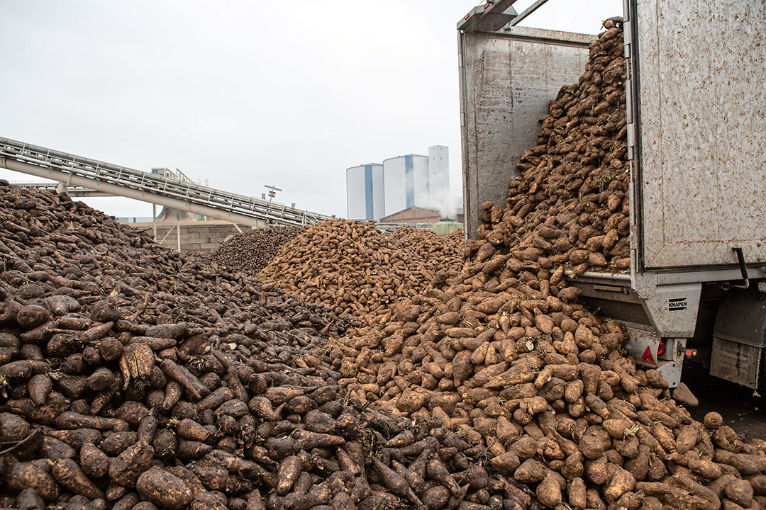 De aanvoer van cichorei bij de fabriek van Sensus viel afgelopen seizoen wat tegen. - Foto: Peter Roek