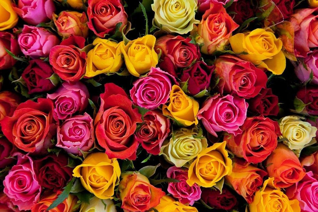 De kwestie gaat om een bepaalde manier waarop bloemen verpakt worden en de omstandigheden waarin de rozen tijdens het transport worden bewaard. Foto: Canva
