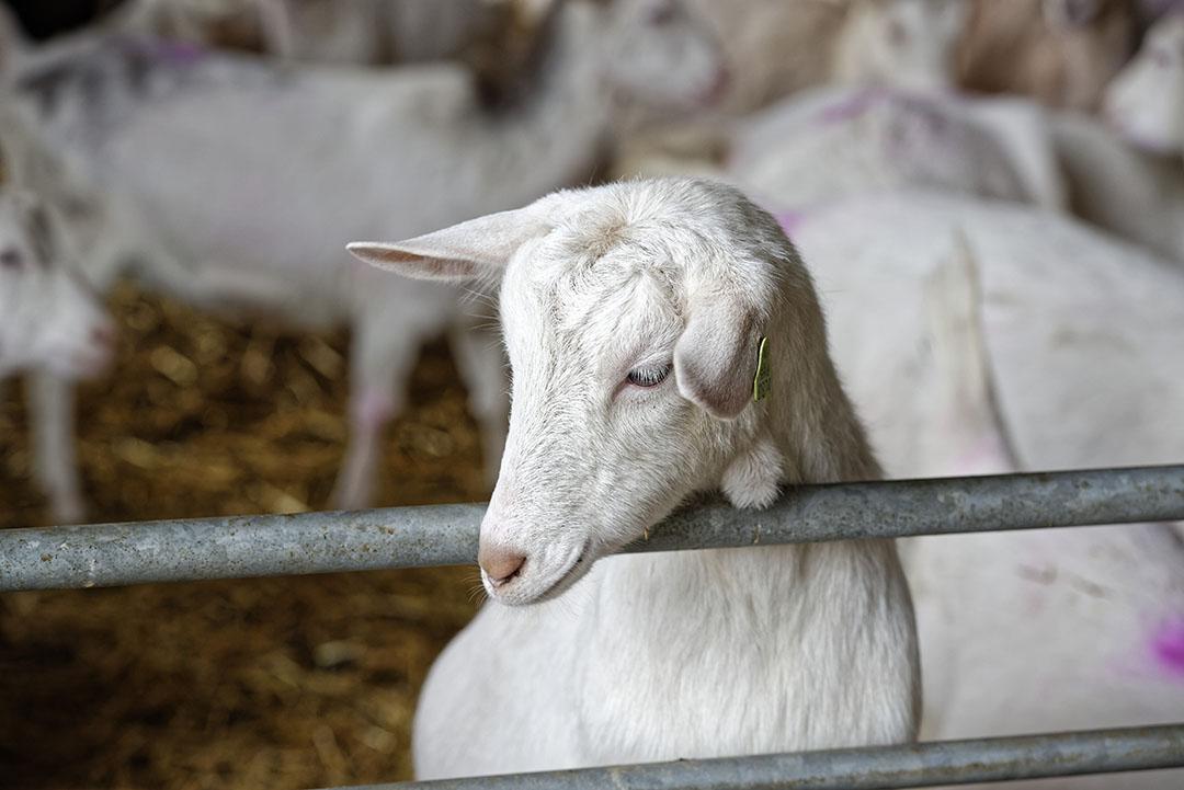 De geitenhouder heeft in mei 2016 een aanvraag ingediend om uit te breiden naar in totaal 3.713 melkgeiten, 1.712 opfokgeiten en 20 bokken. Foto: Lex Salverda