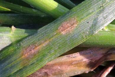 Septoria is een schimmelziekte in tarwe. Wereldwijd wordt ieder jaar bijna €1 miljard uitgegeven aan fungiciden om septoria te bestrijden. - Foto: BCS
