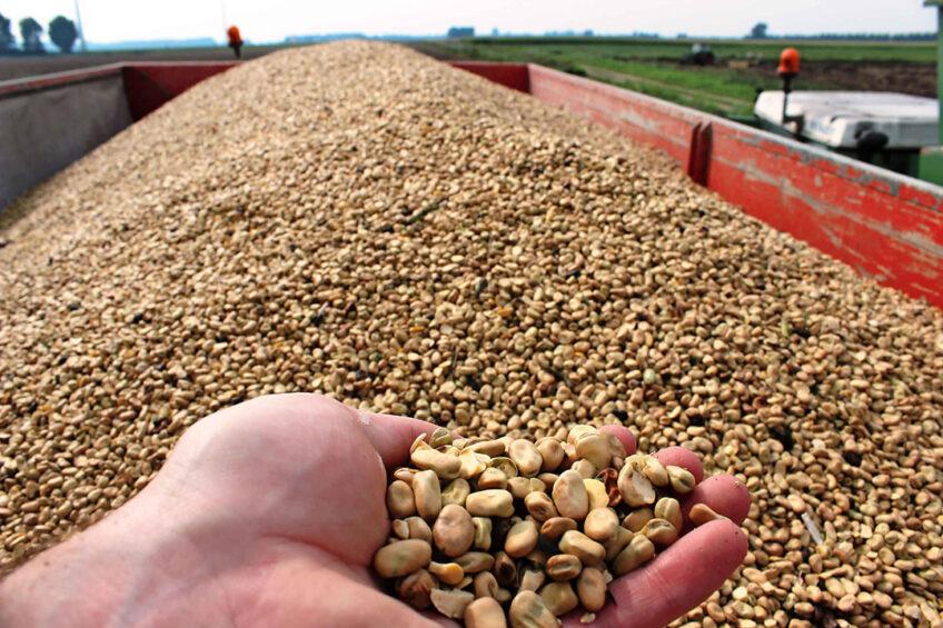 De oogst van winterveldbonen. De teelt van veldbonen wordt gezien als meest kansrijk in Nederland van de eiwitrijke gewassen. - Foto: Peter Roek