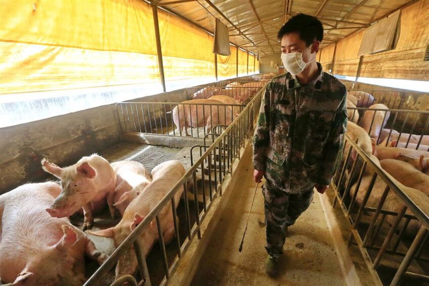 Te midden van het AVP-virus slaagt China er toch in de varkensproductie te verhogen dit jaar, die door AVP ruwweg was gehalveerd. Foto: ANP