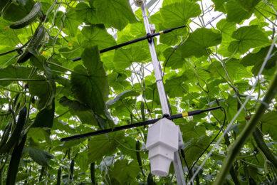 Komkommerteelt met sensoren. Foto: Roel Dijkstra