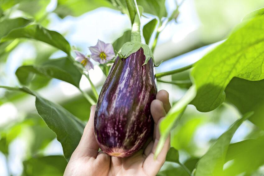 De griffiti aubergine een van de talrijke variaties voor met name horeca, maar de gewone aubergine is voor de jonge consument hip zat en aan een opmerkelijke opmars bezig. - Foto: Leo Duijvestijn