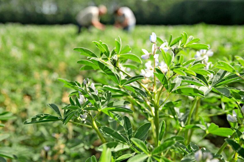 Lupine. De overheid zet in op de teelt van eiwitrijke gewassen zoals lupine. - Foto: Michel Zoeter