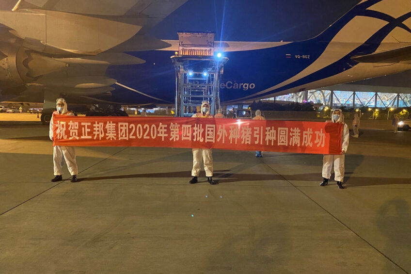 Chinezen verwelkomen een nieuwe lading fokvarkens afkomstig uit Frankrijk. Foto: Nucleus