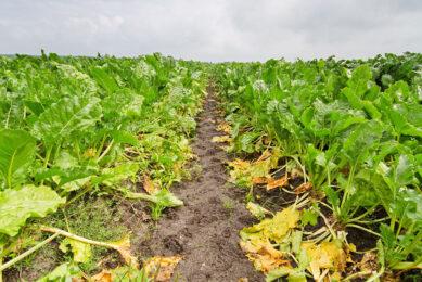 Dat de EU minder suiker produceert komt voor een groot deel door vergelingsziekte. In Frankrijk daalden de hectareopbrengsten met 30% ten opzichte van 2019. - Foto: Canva