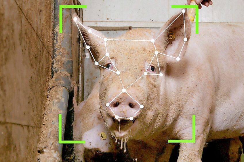 Chinezen willen varkens identificeren op basis van hun koppen. - Foto: Henk Riswick