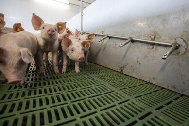 De Pigpointer voorziet volgens de jury in een behoefte in de varkenshouderij waar welzijnschecks steeds belangrijker worden. - Foto: Anne van der Woude