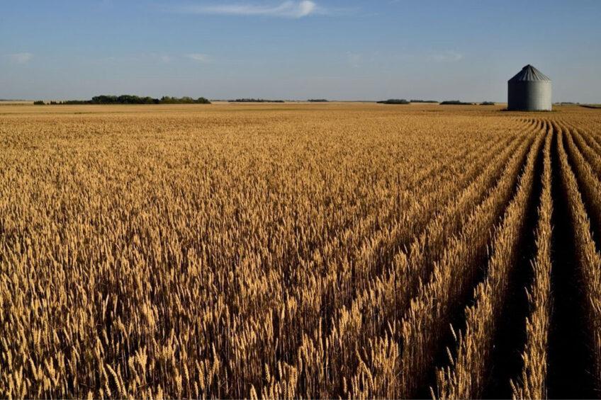 Canada verwacht een wat kleinere oogst dan die van 2020, als gevolg van areaalkrimp. Foto: Canva