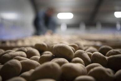 Vergeleken met het 5-jarig gemiddelde is het Bintje-areaal in 2020 ruim 70% gekrompen. Het pootgoedareaal wordt grotendeels ingevuld met de aardappelrassen Fontane, Spunta, Agria en Innovator. - Foto: Mark Pasveer