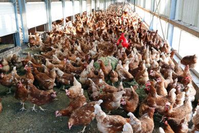 Hennen in overdekte uitloop. Nu vrije-uitloophennen wegens de ophokplicht al langer dan 16 weken niet naar buiten mogen, moeten de eieren worden gestempeld als scharrelei. - Foto: Bert Jansen