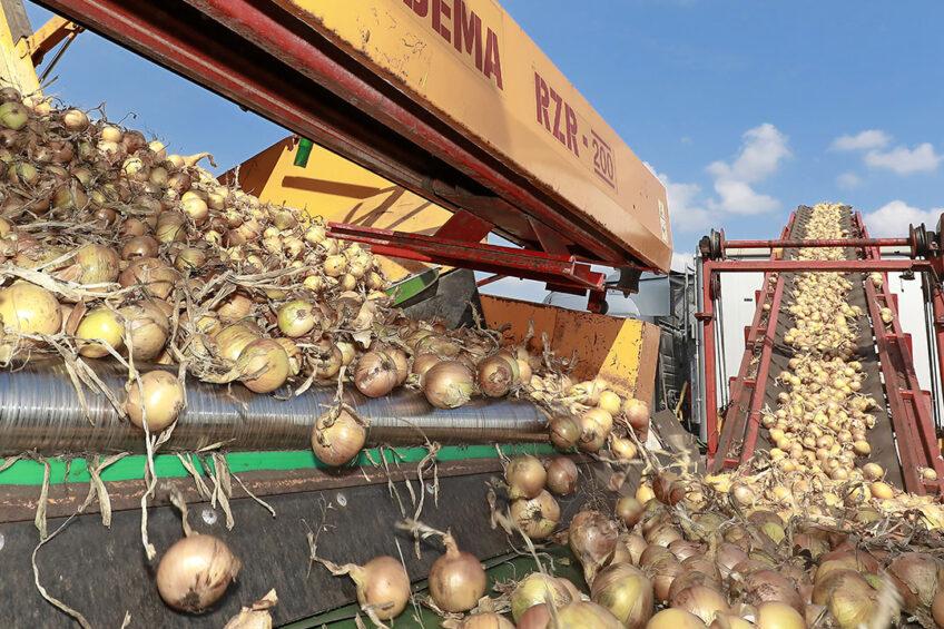 Het laden van uien in een vrachtwagen. Het aandeel van nieuwe teeltgebieden, zoals Drenthe, in de Nederlandse uienproductie neemt toe. - Foto: Ruud Ploeg