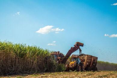 Oogst suikerriet. Brazilië de grootste exporteur en producent van suiker is in de wereld. Foto: Canva
