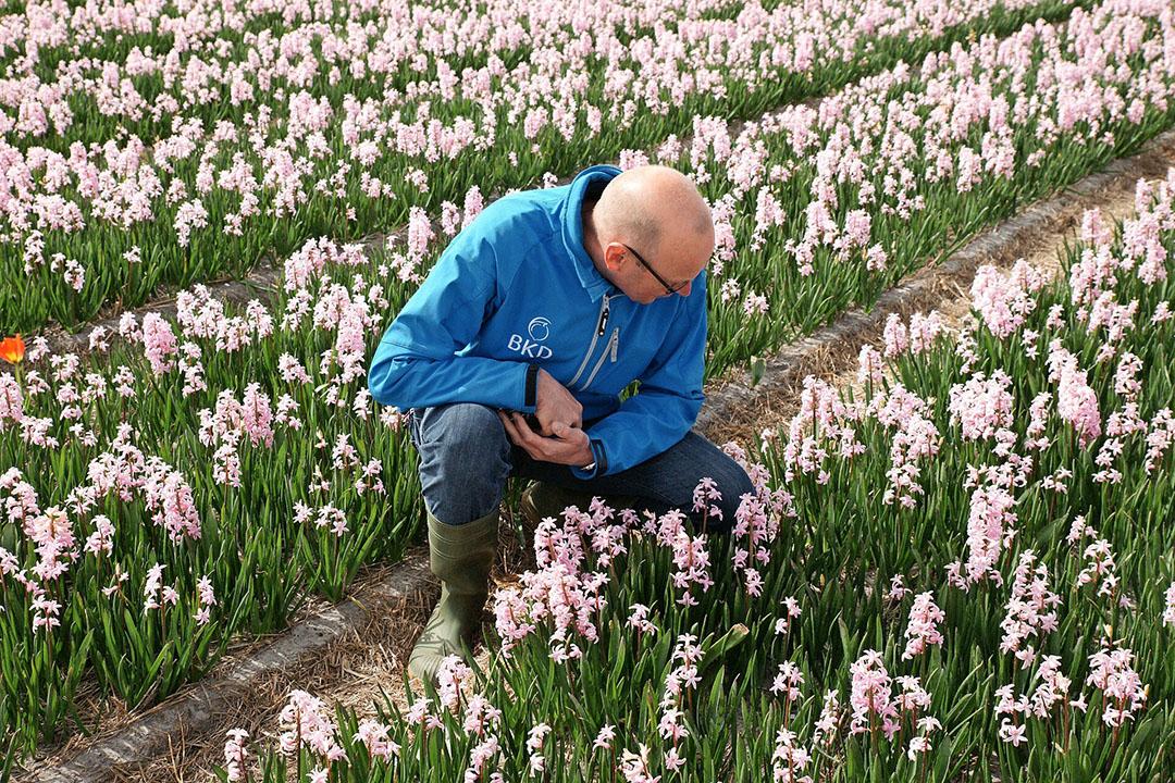 Veldkeuring in hyacint. De BKD staat financieel weer in de plus, blijkt uit het jaarverslag. - Foto: BKD
