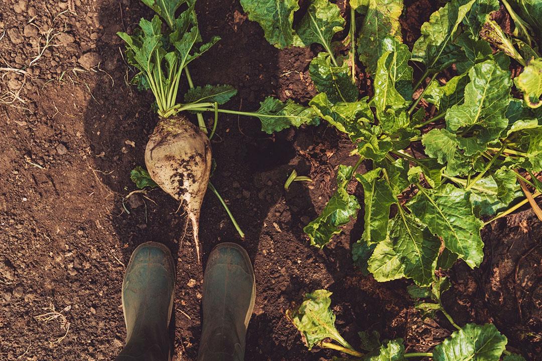 Steeds meer Britse telers overwegen in plaats van bieten meer tarwe te gaan zaaien. - Foto: Canva