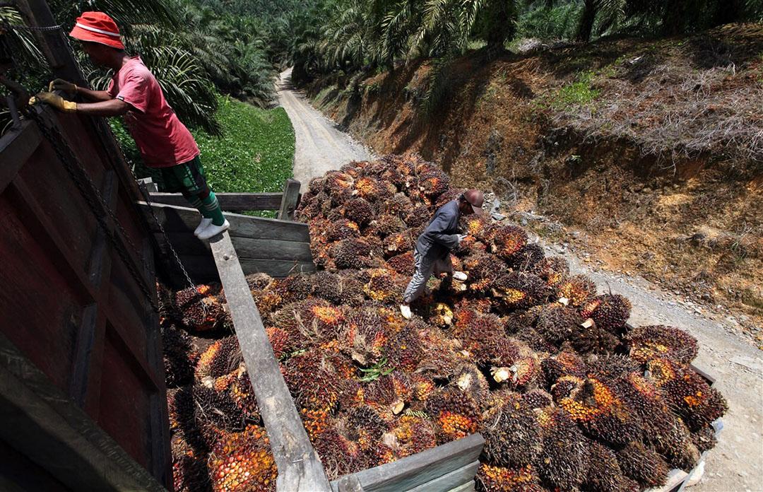Productie van palmolie. Volgens Oxfam Novib hebben grote voedselbedrijven de macht om inkopers aan te zetten tot duurzamere productie. - Foto: AFP/Mohd Rasfan