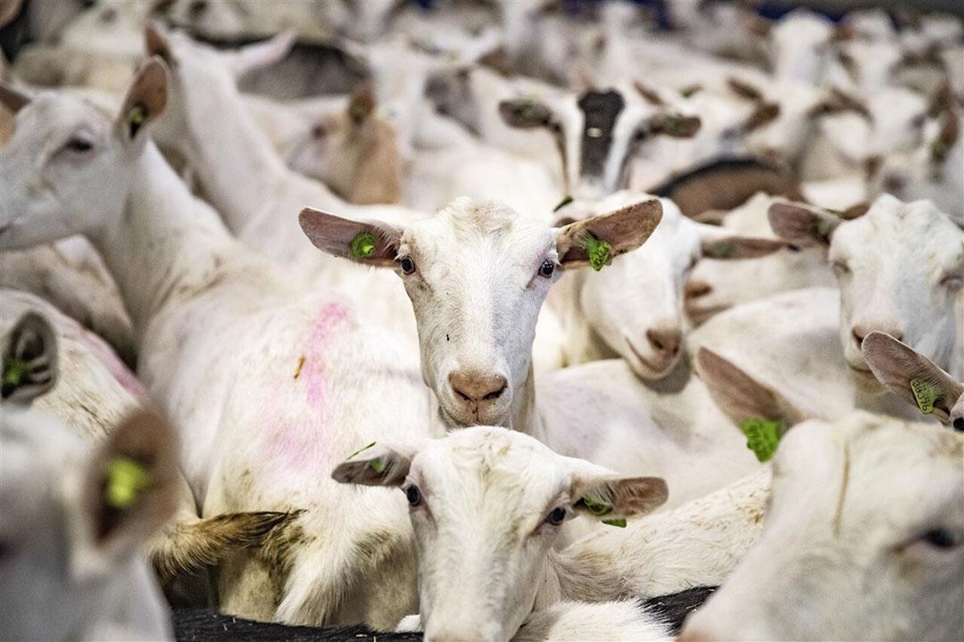 Uit eerdere studies blijkt er rondom geitenbedrijven een verhoogd risico op longontstekingen. - Foto: ANP