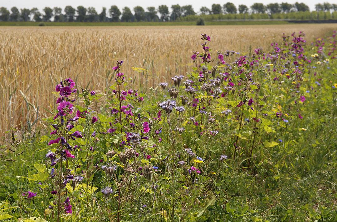 Akkerranden zijn een middel om de biodiversiteit te vergroten. - Foto: Hans Prinsen